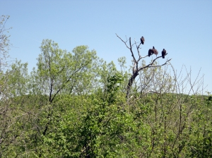 Buzzards perching in a tree looking for prey. Saw foxes, coyotes, deer, tortoises,  rabbits, raccoon, wild turkeys, ducks, geese and many other species of birds including cardinals, my favorite. Heard the whip-o-will and owls at night.