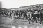Camels e